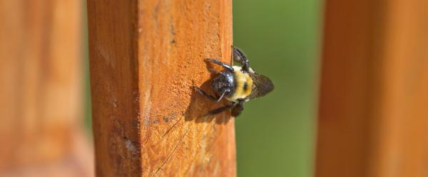 A carpenter bee looking for a home